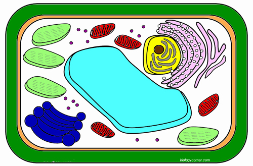 Plant Cell Worksheet Answers Best Of Color A Typical Plant Cell