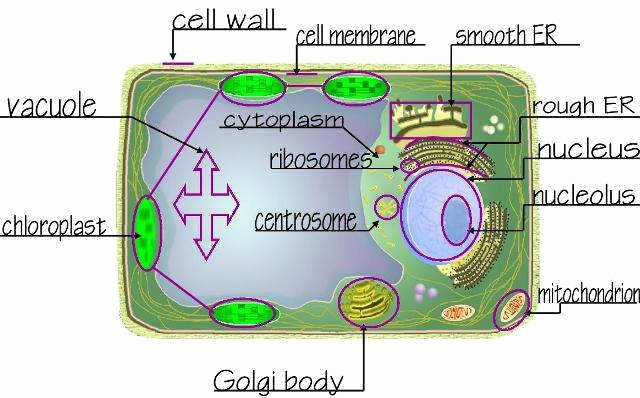 Plant Cell Worksheet Answers Inspirational Plant Cell Worksheet