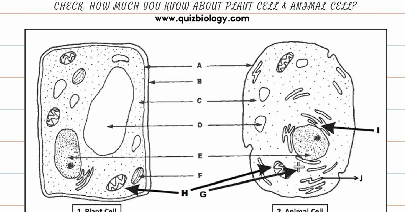 Plant Cell Worksheet Answers Unique Plant Cell Worksheet