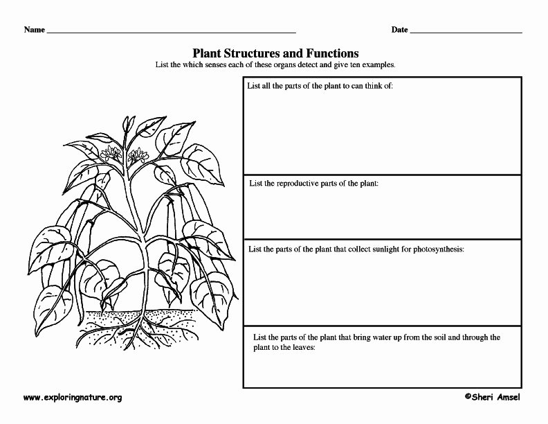 Plant Parts and Functions Worksheet Best Of Plant Structures and Functions Graphic organizer