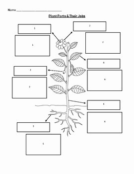 Plant Parts and Functions Worksheet Elegant Plant Parts & their Functions Worksheet Matching by
