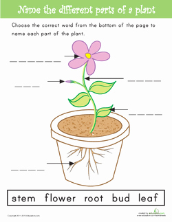 Plant Parts and Functions Worksheet Fresh Plant Structures and their Functions