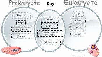 Prokaryote Vs Eukaryote Worksheet Beautiful Prokaryote Vs Eukaryote Venn Diagram by Brittany Gibson
