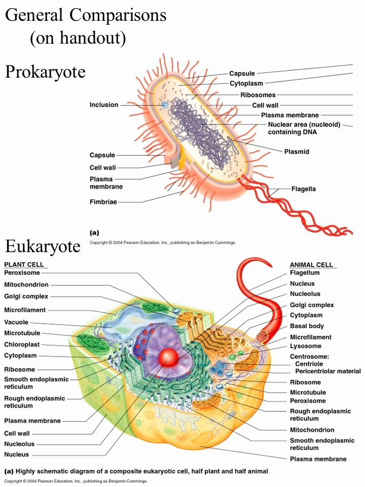 Prokaryotes and Eukaryotes Worksheet Inspirational the Microbiology Coloring Book Prokaryotes and Eukaryotes
