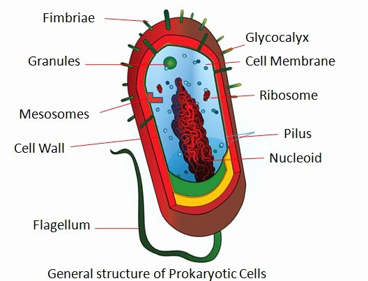 Prokaryotes Bacteria Worksheet Answers Fresh Difference Between Prokaryotic Cells and Eukaryotic Cells