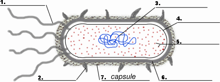 Prokaryotes Bacteria Worksheet Answers Inspirational Bacteria Prokaryote Cell Coloring Biology