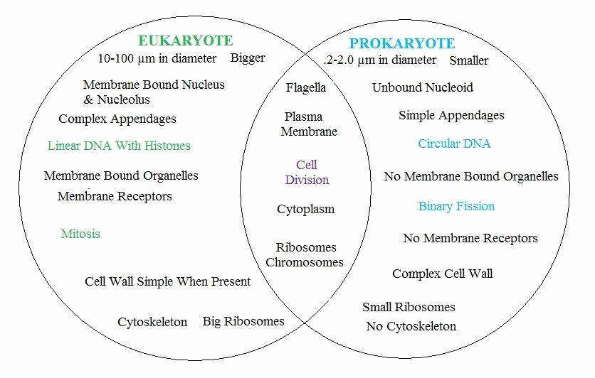 Prokaryotes Vs Eukaryotes Worksheet Best Of Prokaryotic and Eukaryotic Cells Worksheet