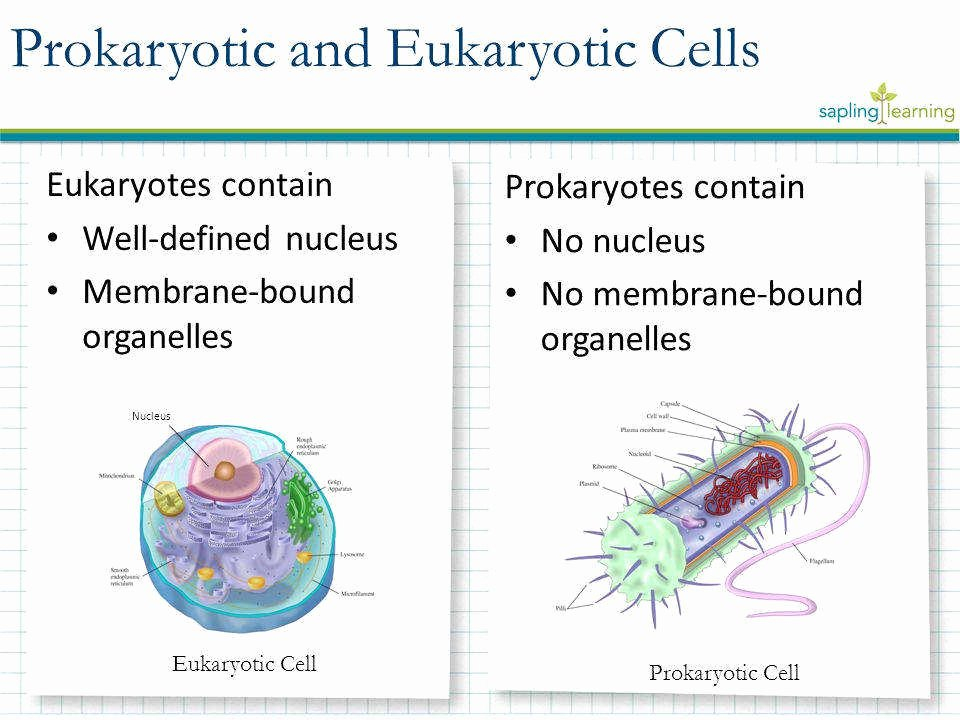 Prokaryotic and Eukaryotic Cells Worksheet Unique Prokaryotic and Eukaryotic Cells Worksheet