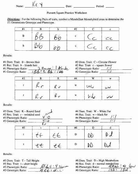 Punnett Square Practice Worksheet Answers Inspirational Punnett Square Practice Worksheet