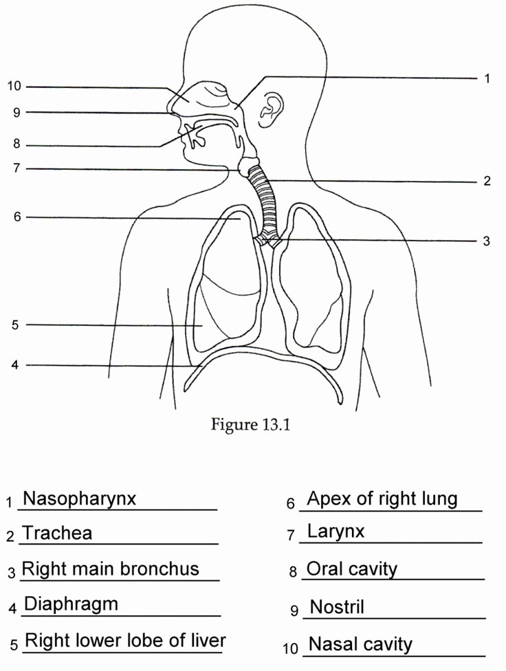 Respiratory System Worksheet Answer Key Awesome Human Anatomy Labeling Worksheets Respiratory Anatomy