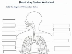 Respiratory System Worksheet Answer Key Best Of Label the Respiratory System Worksheet by Scottactive