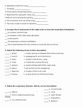 Respiratory System Worksheet Answer Key Elegant Respiratory System Worksheet by the Lab assistants