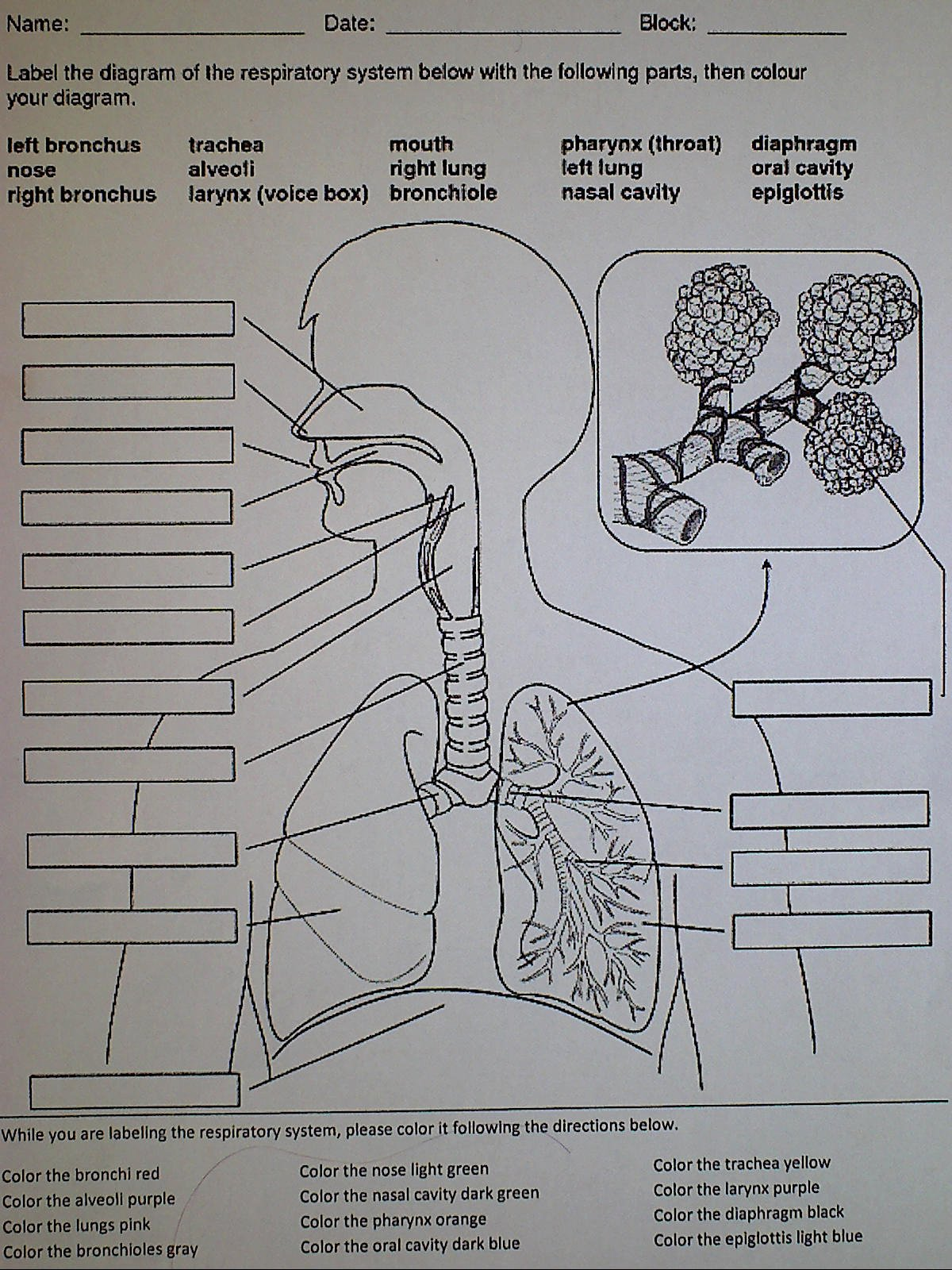 Respiratory System Worksheet Answer Key Luxury Respiratory System Ms Palmer S Science Class