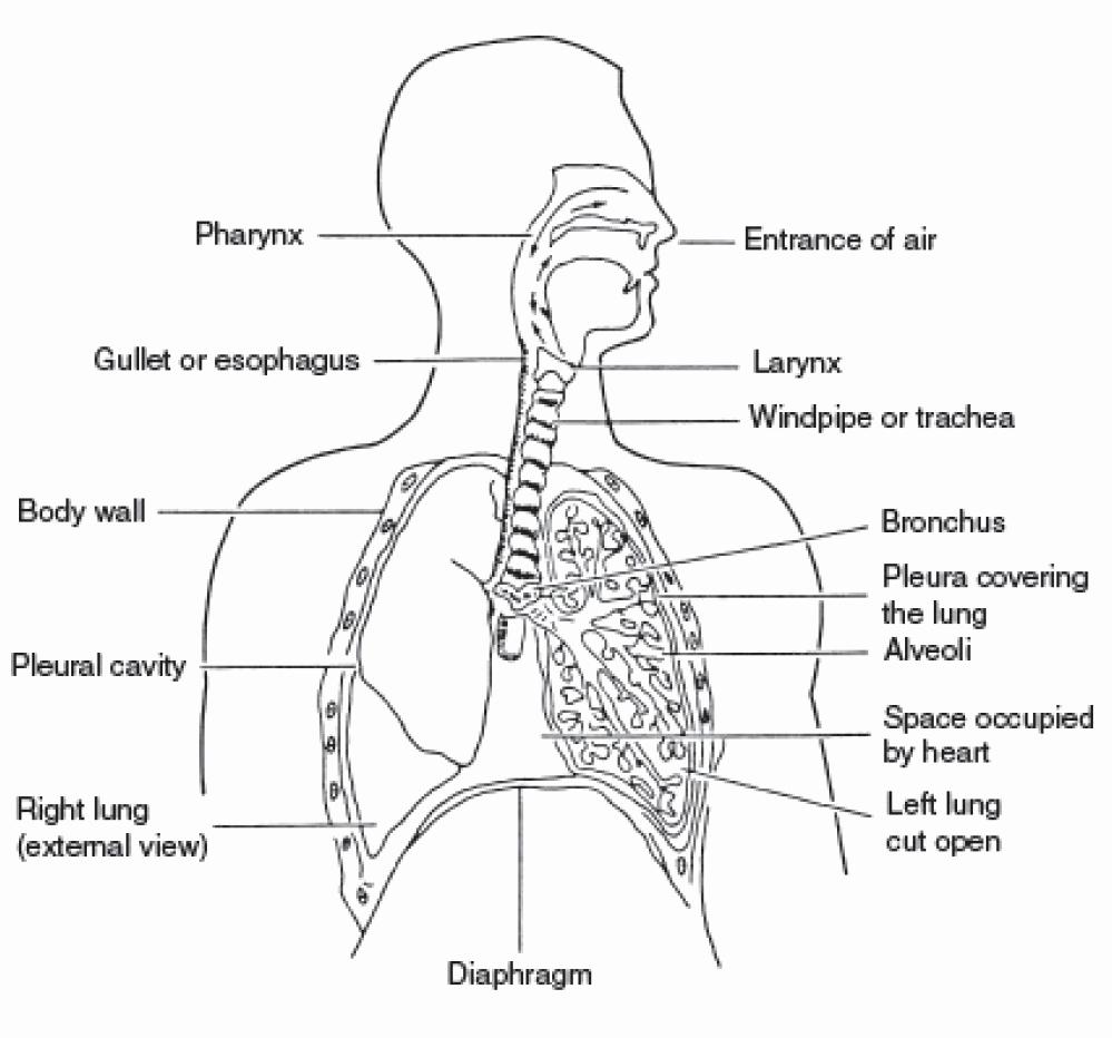 Respiratory System Worksheet Pdf Awesome Respiratory System Worksheets Pdf the Best Worksheets