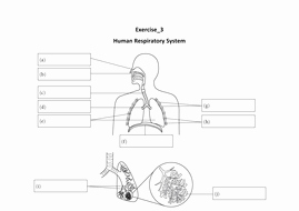 Respiratory System Worksheet Pdf Awesome Respiratory System Year 8 Ks3 Stage by Siewling0821