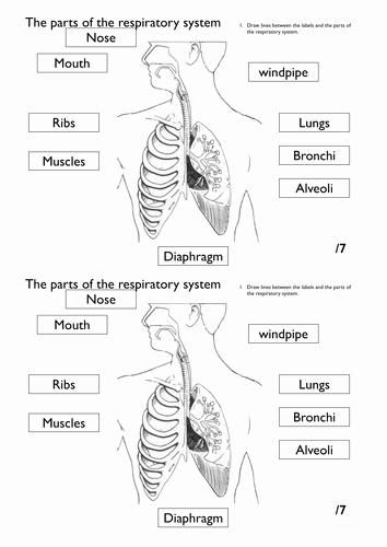 Respiratory System Worksheet Pdf Beautiful Respiratory System Worksheet Pack by Rahmich Teaching