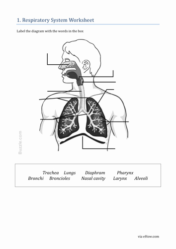 Respiratory System Worksheet Pdf Inspirational Respiratory System by Khartog Teaching Resources Tes