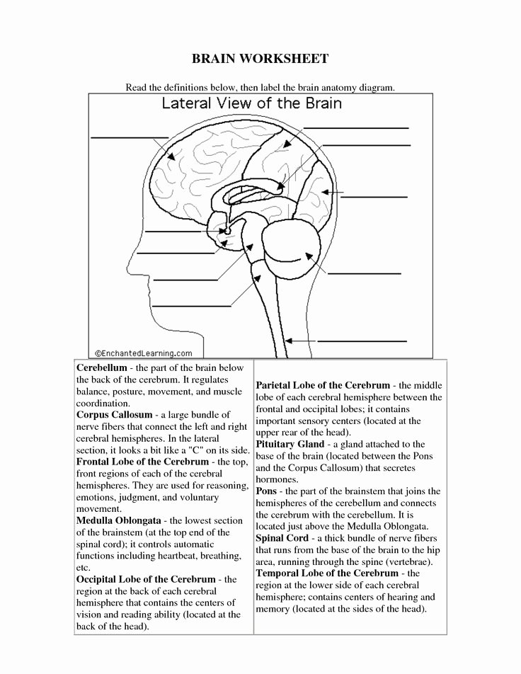 Sheep Brain Dissection Worksheet Awesome 14 Best Of Human Brain Worksheet Human organs