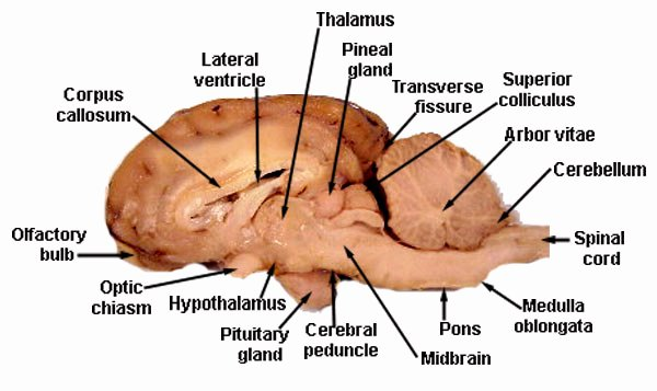Sheep Brain Dissection Worksheet Fresh the Brain