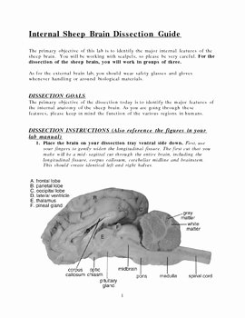 Sheep Brain Dissection Worksheet Inspirational Internal Sheep Brain Dissection Guide by Keith Metzger