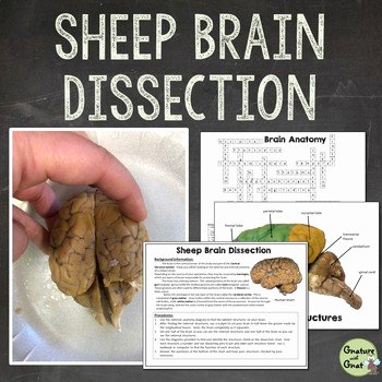 Sheep Brain Dissection Worksheet Inspirational Nervous System Sheep Brain Dissection by Gnature with