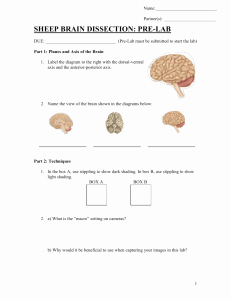 Sheep Brain Dissection Worksheet Inspirational Studylib Essys Homework Help Flashcards Research