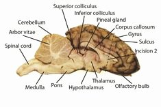 Sheep Brain Dissection Worksheet Lovely Cow Eye Dissection Labeled