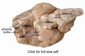Sheep Brain Dissection Worksheet Lovely Sheep Brain Dissection Guide with & Worksheets