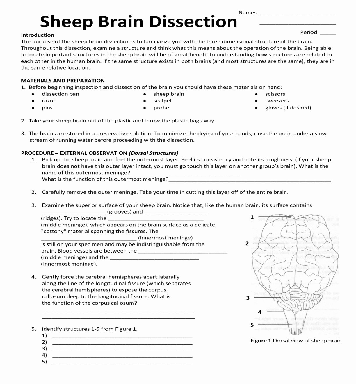Sheep Brain Dissection Worksheet New Anatomy Sheep Brain Steven Hill