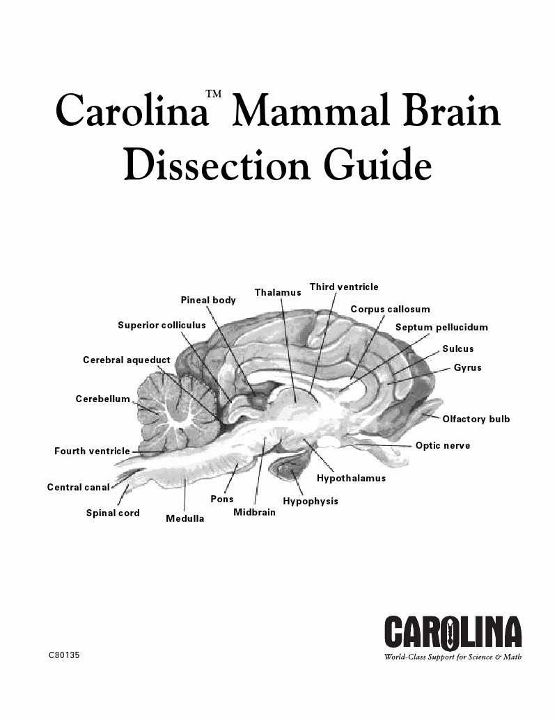 Sheep Brain Dissection Worksheet New Carolina Mammal Brain Dissection Carolina