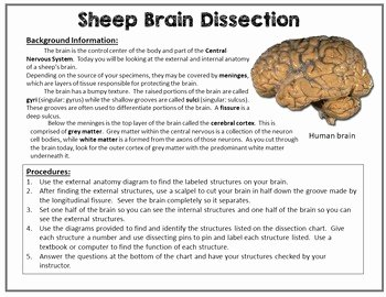 Sheep Brain Dissection Worksheet Unique Nervous System Sheep Brain Dissection by Gnature with