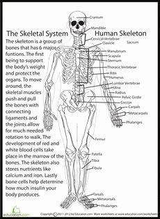 Skeletal System Labeling Worksheet Pdf Awesome Human Skeletal System