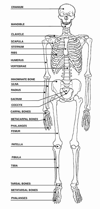 Skeletal System Labeling Worksheet Pdf Awesome View Full Size More Human Skeleton Blank Diagram Pic 20