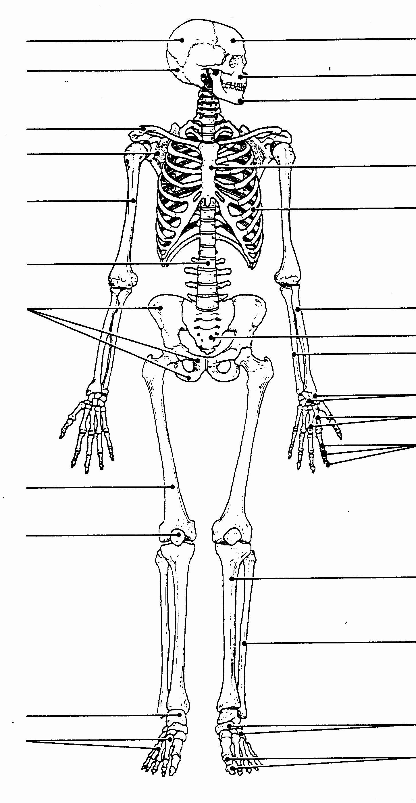Skeletal System Labeling Worksheet Pdf Beautiful Unlabeled Human Skeleton Diagram Unlabeled Human