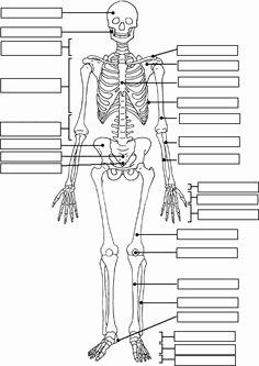 Skeletal System Labeling Worksheet Pdf Best Of Human Skeleton Worksheet Homeschool Science