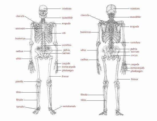Skeletal System Labeling Worksheet Pdf Best Of Skeletal System Worksheet