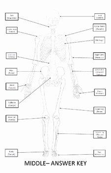 Skeletal System Labeling Worksheet Pdf Elegant Skeletal System Worksheet 11x17 Label Bones Of the