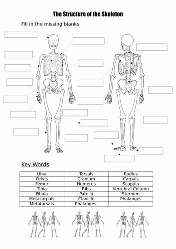 Skeletal System Labeling Worksheet Pdf Fresh Label A Blank Skeleton with Key Words by Burnsinwigan