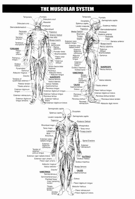 Skeletal System Labeling Worksheet Pdf Inspirational 17 Best Images About Human Body On Pinterest