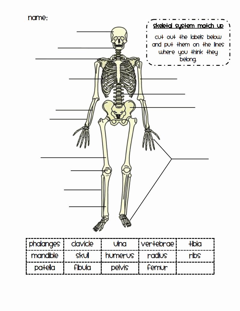 Skeletal System Labeling Worksheet Pdf Lovely Skeletal System Match Up Pdf Google Drive