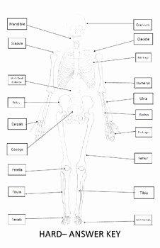 Skeletal System Labeling Worksheet Pdf Lovely Skeletal System Worksheet 11x17 Label Bones Of the