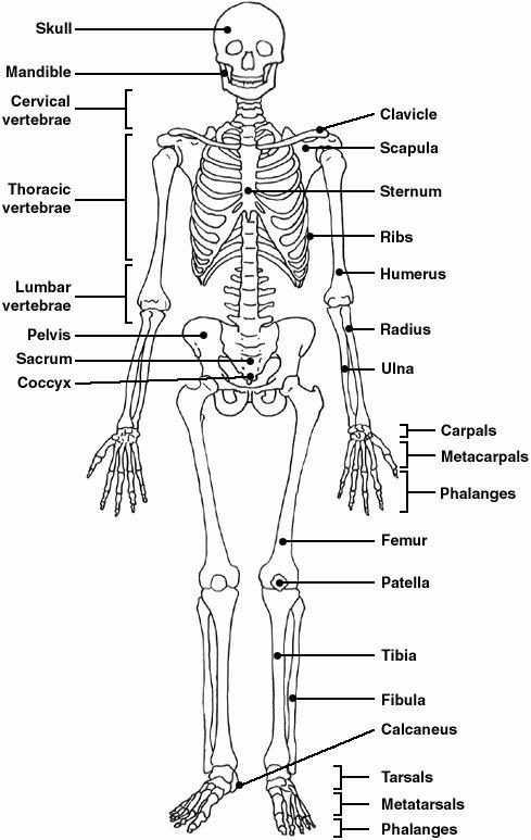 Skeletal System Labeling Worksheet Pdf New Pinterest • the World's Catalog Of Ideas