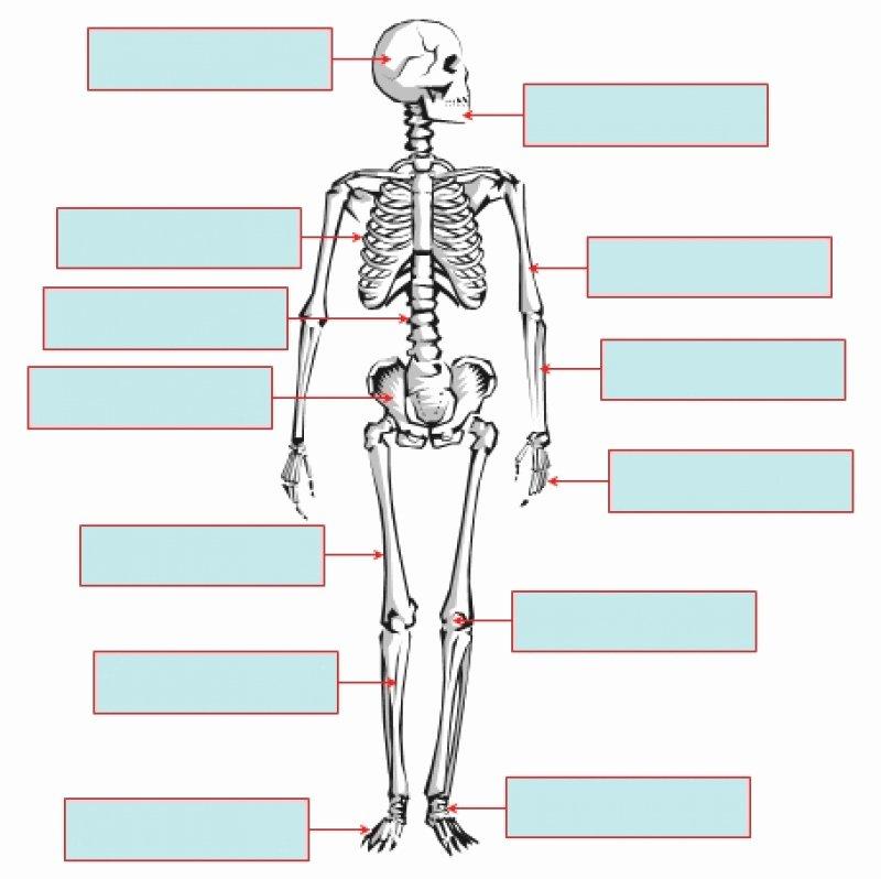 Skeletal System Labeling Worksheet Pdf Unique Farsley Farfield Year 3