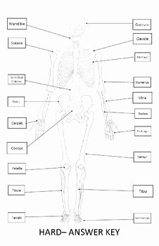 Skeletal System Worksheet Pdf Beautiful Skeletal System Worksheet 11x17 Label Bones Of the
