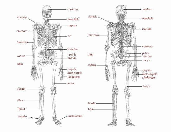 Skeletal System Worksheet Pdf Beautiful Skeletal System Worksheet