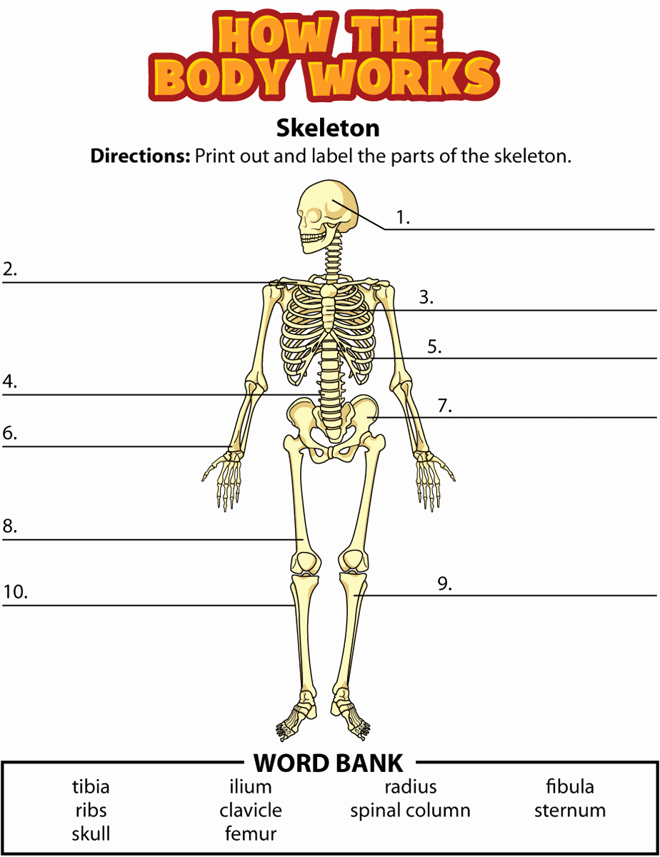 Skeletal System Worksheet Pdf Elegant Activity Bones