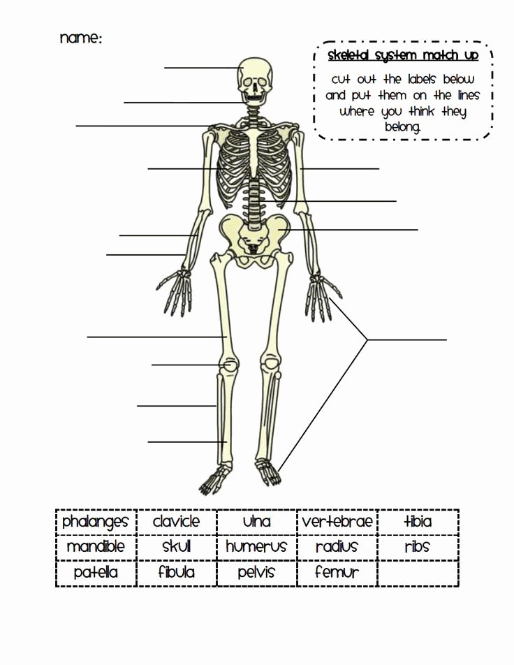 Skeletal System Worksheet Pdf Fresh 25 Best Ideas About Skeletal System On Pinterest