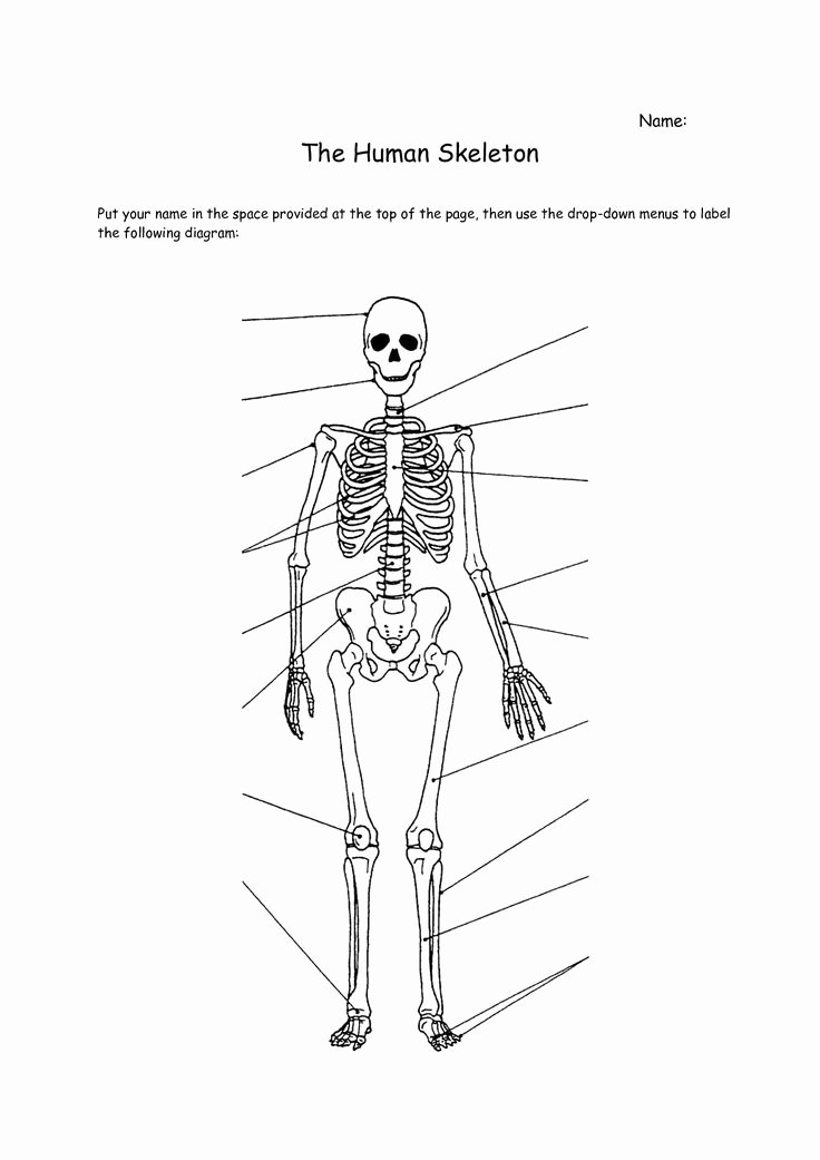 Skeletal System Worksheet Pdf Fresh Human Skeleton Worksheet Anatomy Pinterest