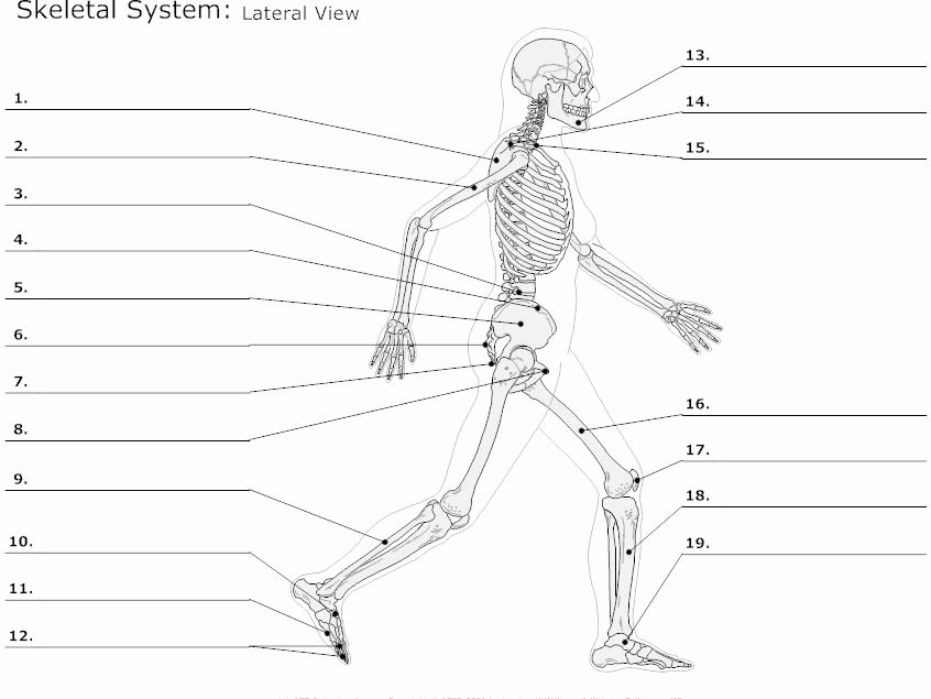 Skeletal System Worksheet Pdf Inspirational as Level Pe 2016 New Spec topic 1 Muscular Skeletal