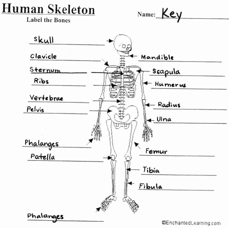 Skeletal System Worksheet Pdf Inspirational Skeletal System Worksheet